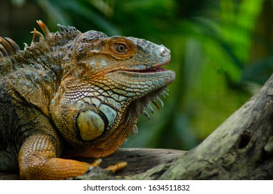 Wonderfull iguana on the park