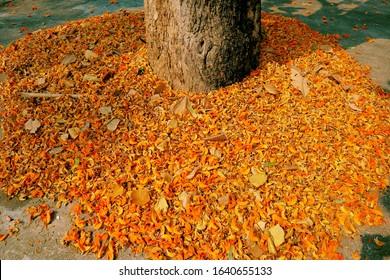 ろくでなしチークの花の木。カラフルな秋の葉の背景(バスタードチーク)。オレンジ色の花が落ちる。