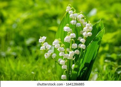 Lirio de los valles de flor de primavera. Lirio de los valles. Flor Primavera Sol Blanco Fondo Verde Horizontal. Fondo ecológico Fondo floreciente de la hierba verde del lirio de los valles en la luz del sol.