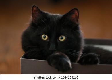 Pequeño gato negro sentado en la caja de zapatos