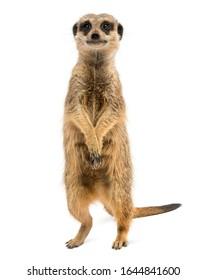 Vista frontal de un suricata o de pie, Suricata suricatta, aislado en blanco