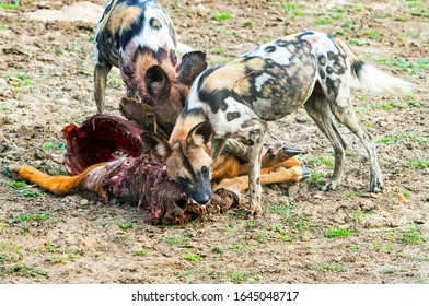 Wild Dogs (Painted Dogs) - Lycaon pictus ernährt sich von einem kürzlichen Puku-Kill. Die Hunde sind wilde Mörder und greifen an und fressen, während sie das Tier noch angreifen. Süd-Luangwa-Nationalpark, Simbabwe