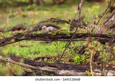 Leopard und Affe im Okavango Delta, Botswana