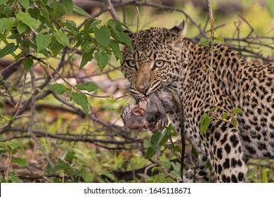 Leopard and monkey in the Okavango Delta, Botswana