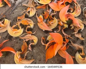 Flores de teca bastarda en el suelo, Butea monosperma. Flores secas de teca bastarda.