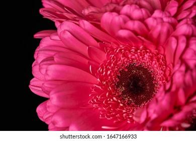 黒の背景に美しい咲くピンクのガーベラデイジーの花。クローズアップ写真。