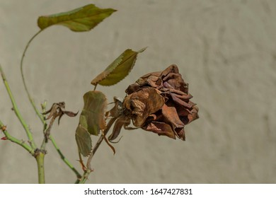 Getrocknete Hagebuttenblume auf einem grünen Zweig. verblassende Rose. trockenes Rosenmakro. ein Symbol für verblassende weibliche Schönheit und Jugend. Frühling animierte Zweige.