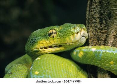 Grüner Baum Python, Morelia Viridis, Nahaufnahme des Kopfes