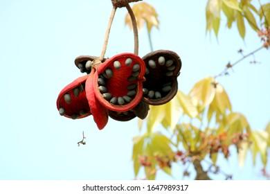 Ciérrese para arriba de las frutas de Sterculia foetida (árbol bastardo del poon).