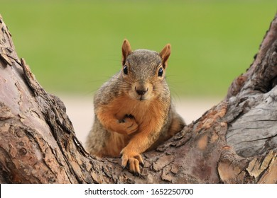 Portrait of fox squirrel (Sciurus niger) sitting on branch isolated on green. Holds foreleg with nut on chest. Urban wildlife. The largest species of tree squirrel in N. America. Denver, Colorado.