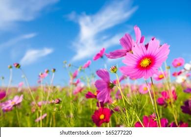 Una flor cosmos cara al amanecer en el campo