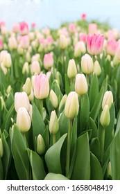 Gruppe von rosa Tulpen im Park. rosa Tulpenhintergrund. Frühlingsblühendes Tulpenfeld. Selektiver Fokus
