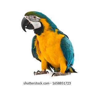 正面に青と黄色のコンゴウインコ