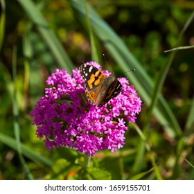 Centranthus ruber Pretty Betsy- soft clusters of small, trumpet-shaped pink flowers red valerian ,fox's brush ,Spanish valerian ,spur valerian,German lilac,Kiss me Quick plant with a Monarch butterfly