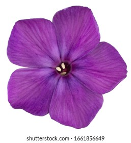 Studio Shot of Purple Colored Phlox Flower Isolated on White Background. Large Depth of Field (DOF). Macro. Close-up.