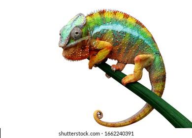 Schöne Farbe von Chamäleon Panther, Chamäleon Panther auf trockenen Blättern, Chamäleon Panther Nahaufnahme, Chamäleon Panther auf Zweig mit weißem Hintergrund,