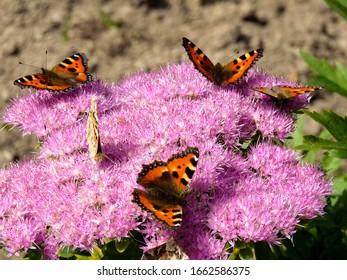 Ambaritsa, Bulgarien - CIRCA 2012. Durstige Schmetterlinge sammeln sich über einer knospenden großen Blume.