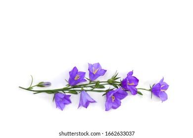 Violette blaue Blumenglocke Campanula persicifolia (pfirsichblättrige Glockenblume) auf einem weißen Hintergrund mit Raum für Text. Draufsicht, flach liegen