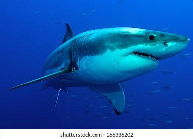 真っ青な海でポーズをとるホオジロザメ。