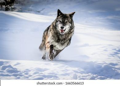 Wolfsrudel, Wölfe im Winterschnee