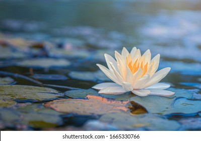 Schöner thailändischer Lotus, der mit der dunkelblauen Wasseroberfläche geschätzt wurde, am Gartenpublikum
