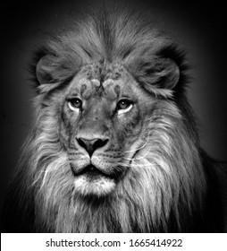 雄ライオン:非常に特徴的な雄ライオンは、たてがみによって簡単に認識され、その顔は人間の文化で最も広く認識されている動物のシンボルの1つです。