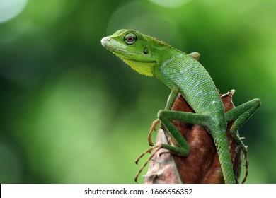 Grüne Eidechse auf Zweig, grüne Eidechse, die sich auf Zweig sonnt, grüne Eidechse klettert auf Holz, Jubata-Eidechse