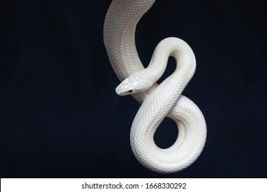 La serpiente de rata de Texas (Elaphe obsoleta lindheimeri) es una subespecie de la serpiente de rata, un colúbrido no venenoso que se encuentra en los Estados Unidos, principalmente en el estado de Texas.