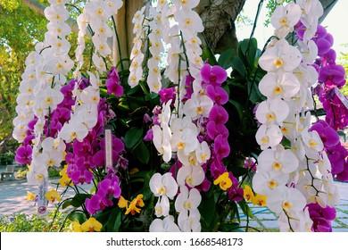 Jardín de orquídeas. Orchidaceae. las orquídeas están disponibles en violeta, blanco, amarillo. Hermoso jardín de flores. hermosas orquídeas. Chiang Mai, Tailandia. flor blanca y morada. Orquídeas Phalaenopsis.