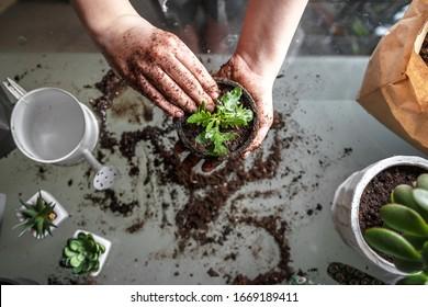 Gartenhaus. Mädchen, das grüne Weide im Hausgarten neu bepflanzt. Innengarten, Raum mit Pflanzenfahne Topfgrüne Pflanzen zu Hause, Hauptdschungel, Gartenzimmergartenarbeit, Pflanzenraum, Blumendekor.