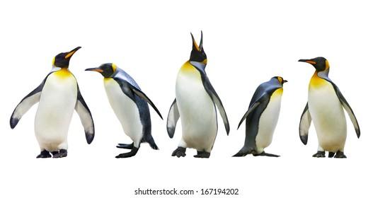 コウテイペンギン。白い背景で隔離