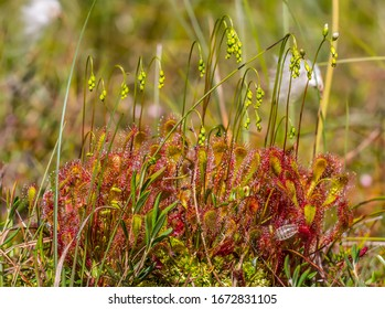 English sundew (Drosera anglica) early flowering on peat swamp, Eastern Baltic region - carnivorous plants, caught insect on sticky hairs