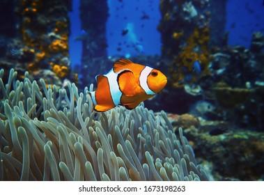 カクレクマノミ海洋生物アネモネリーフ