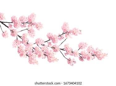 Zweig der blühenden Sakura mit rosa Blüten, Japan. Auf weißem Hintergrund isoliert