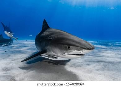 Tigerhai (Galeocerdo Cuvier) schwimmt über dem Riff