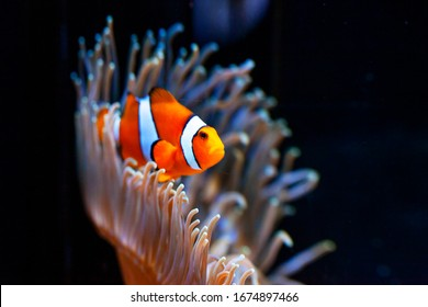 水族館の明るいオレンジ色のカクレクマノミ