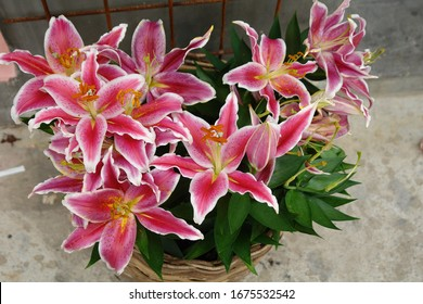 Beautiful bright  Lilium orientalis 'Stargazer' with vibrant pink petals with white edges in a wicker pot
