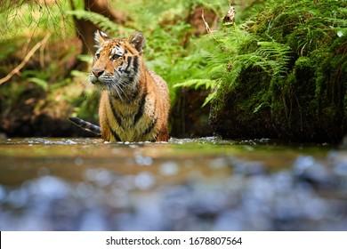 シダに覆われた土手近くの森の小川を歩いているシベリアトラ、Panthera tigrisaltaica。直視、ローアングル写真。典型的なタイガスプルースの森の水中のトラ。ロシア
