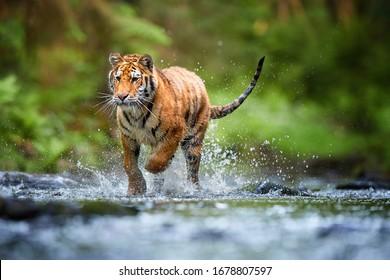 ダークグリーンのトウヒの森を背景に森の小川を歩いている若いシベリアトラ、パンテーラチグリスアルタイカ。典型的なタイガ環境で水滴の中の虎。直視、ローアングル写真。ロシア