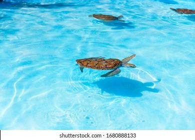 Meeresschildkröten, die vom Wasser im Reservat schauen. Weiße Meeresschildkröte, die im klaren Wasser schwimmt.