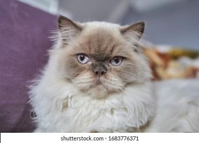 Portrait of Himalayan / Scottish Blue Point origin cat model. White fur, blue eyes, black nose.