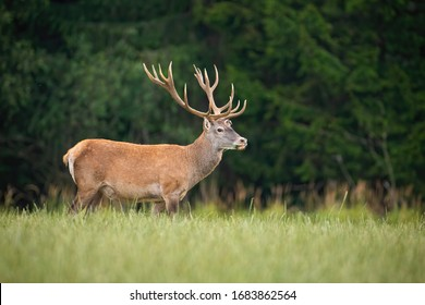Strong red deer, cervus elaphus, stag with big antlers standing on a open pasture in nature. Majestic wild animal in Slovakia, Europe. Wildlife scenery of mammal from side view with copy space.