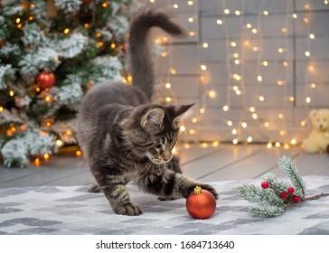 Maine coon kitten plays on a Christmas background