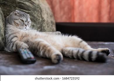 怠惰な太った猫がテレビのリモコンでソファに寝転がっている