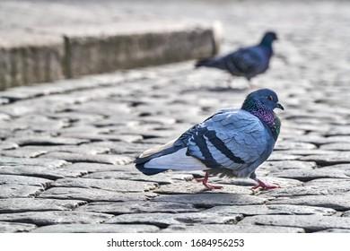 Vorderansicht des Gesichtes von Rock Pigeon von Angesicht zu Angesicht. Rock Pigeons drängen Straßen und öffentliche Plätze und leben von weggeworfenem Essen und Opfergaben von Vogelfutter