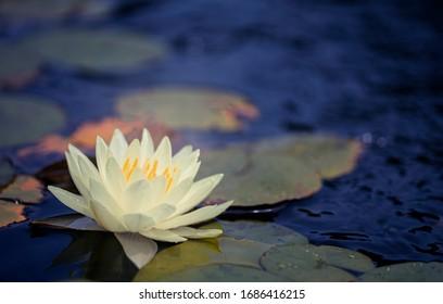 Schöner thailändischer Lotus, der mit dunkelblauer Wasseroberfläche geschätzt wurde