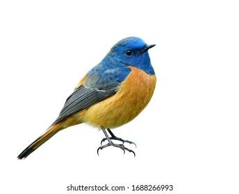Schöner orange Vogel mit blauem Kopf lokalisiert auf weißem Hintergrund, der seine Details von Kopfgesichtsflügeln, Schwänzen und Füßen zeigt, Männchen von Rotschwanz mit blauer Front