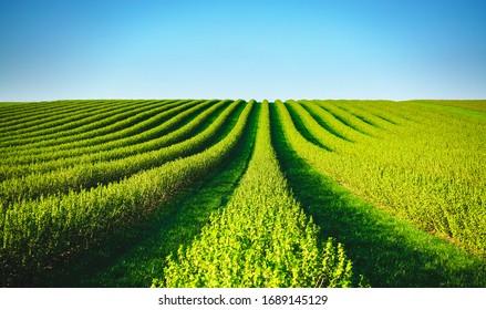 Fila de arbustos de grosella negra en una granja de verano en un día soleado. Lugar de ubicación de Ucrania, Europa. Foto del concepto de creatividad. Imagen escénica de tierras agrarias en primavera. Descubra la belleza de la tierra.