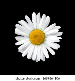 Flowering of daisies isolated in black background. Oxeye daisy, Leucanthemum vulgare, daisies, Common daisy, Dog daisy, Moon daisy.