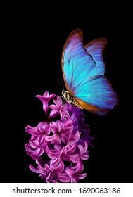 花の上のカラフルな青いモルフォ蝶。黒に分離されたピンクのヒヤシンスの花。明るくカラフルな春の花。